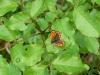 farfalla2-800